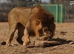 מלך החיות של רמת גן