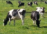 27 בתי מטבחיים. פרות