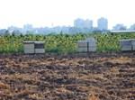 כוורות ליד שדה חמניות