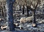 תוצאות השריפה ביער גמלא. צילום: פלאש90