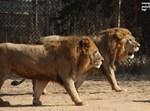 אריות, ספארי