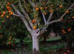 עץ, עץ תפוזים, מטע, תפוז, חקלאות, חקלאי