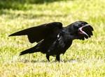 עורב, ציפור, שחור