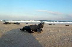 צב ים קטן בחוף ניצנים