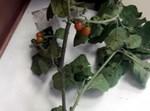 צמח בר רעיל מאוד 'ענביי שועל' ממשפחת הסולניים