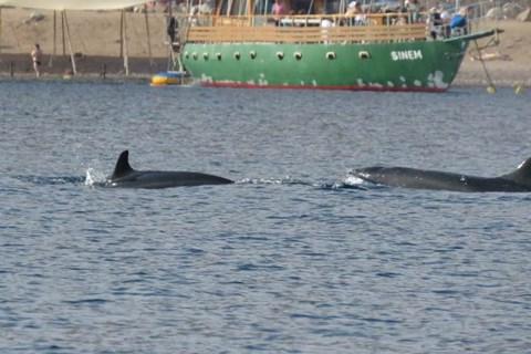 להקת דולפינים מסוג עבשן קטלני בחוף אילת