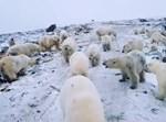 קבוצת דובים שפלשה לעיירה