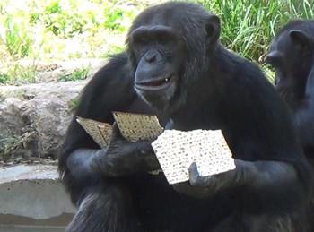 הקופים אוכלים מצות