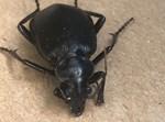 חיפושית מסוג 'רצנית אוליביה'