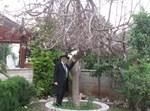 """העץ שנבל בחצר ביתו של הגר""""ש קורח זצ""""ל"""