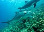 דולפינים בצלילה