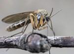 זן של יתוש