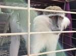 קוף לבנוני שחדר לתוך שטח ישראל