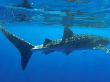 כריש לוויתני שנצפה בחופי אילת