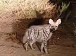 צבוע מפוספס (Hyaena hyaena)