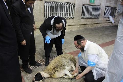 מעמד שחיטת הכבש בפינסק קרלין