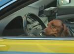 כלב ברכב. אילוסטרציה