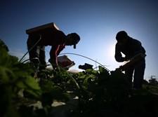 קטיף תותים בצפון רצועת עזה