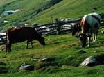 עדר פרות