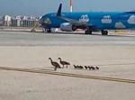 """ברווזים על מסלול הטיסות בנתב""""ג"""