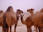 גמלים במדבר. אילוסטרציה
