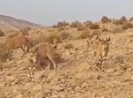 היעלים מסתובבים