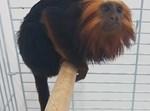 הקוף הגנוב