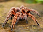 עכביש טרנטולה