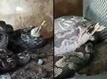 הנחש בולע את הברווז