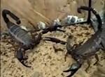 העקרבים תוקפים