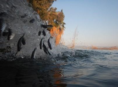 דגי בורי בכנרת