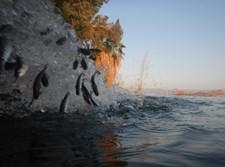אכלוס דגי בורי בכנרת