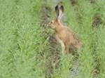 הארנבת בזמן ההשבה לטבע