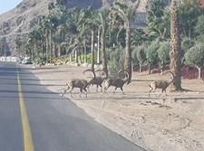היעלים הבוקר ליד מלון אורכידאה