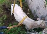 חילוץ הפרה מהבור