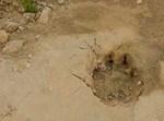 עקבות הנמר שמצא כרמלי