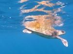 צב הים שנצפה על פני המים