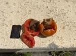 מטילי זהב מוסלקים בעגבניות