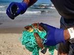 צבי הים ששוחררו אתמול