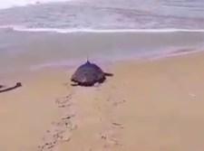 צבת הים שוחררה לטבע