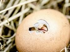 ביצת גוזל בקן, אילוסטרציה