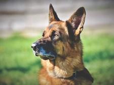 כלב גישוש