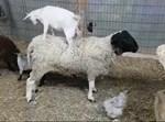 העז הקטנה על גב הכבשה