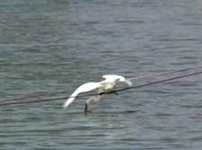הלבנית צדה דגים