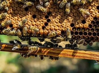 כוורת דבורים