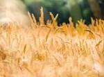 חיטים בשדה