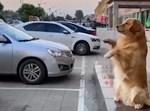 הכלב מכוון את נהג הרכב
