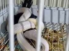 הנחש חונק את הטוקן