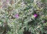 פרח ערברבה