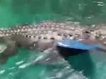 התנין נדחף בעזרת המשוט